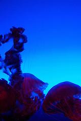medusa-turritopsis